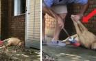 Esta cachorrinha é tão preguiçosa que o seu dono tem que tirar ela do caminho para poder varrer a casa