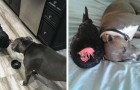 La storia di Peri, la gallina cieca che è diventata la migliore amica di un cucciolo di Pitbull