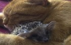 These baby hedgehogs were destined to a certain death, but someone adopted them by surprise!