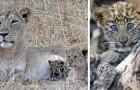 Een leeuwin adopteerde een verlaten luipaardwelp en behandelde hem alsof hij haar eigen kind was