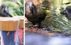 Questa specie di pappagalli è in grado di calcolare le probabilità proprio come noi umani: lo rivela uno studio