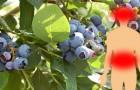 Nutrientes, antioxidantes e muito mais: 6 benefícios dos mirtilos, frutas pequenas, mas com ótimas propriedades