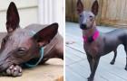 Questo cane senza pelliccia sembra una sfinge e appartiene ad un'antica razza canina del Perù
