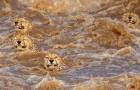 Twee fotografen leggen het moment vast waarop 5 jachtluipaarden met hoge snelheid een rivier overzwemmen