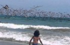 SPECTACULAR fishing attack by hundreds of pelicans