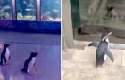 L'aquarium ferme à cause du Covid-19 : la nuit, les pingouins sont libres de se promener à l'intérieur de la structure