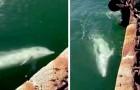 Coronavirus: con lo stop dei traghetti nei porti torna la pace, i delfini giocano vicino alla banchina
