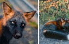 Een fotograaf wist alle schoonheid van een bepaald type vos met zwarte en rode vacht vast te leggen