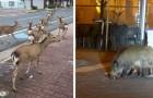 Coronavirus: Tiere strömen auf der Suche nach Nahrung in verlassene Städte, während die Menschen in ihren Häusern eingesperrt sind