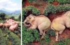 14 elefanti irrompono in un villaggio in cerca di cibo e si addormentano tra le piantagioni