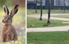 Milan, with the men locked in the house, the rabbits reclaim the city parks and flower beds