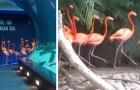 Het aquarium sluit wegens het Coronavirus: flamingo's lopen rond om andere bewoners te