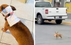 He cannot leave the house because of quarantine, so he sends his chihuahua