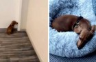 Every time he goes out, this dog can't wait to go home to dive into his bed and take a nap