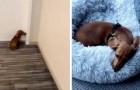 Varje gång den här hunden går ut längtar den tillbaka hem för att kasta sig på sin säng och ta en tupplur