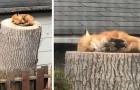 Una volpe rossa dorme su un tronco d'albero nel giardino di una casa: l'assenza dell'uomo in natura si fa sentire