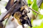Coronavirus: In Peru kämpft man gegen die Fledermäuse wegen der unbegründeten Psychose, die durch Covid-19 ausgelöst wurde