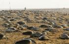 Con l'India in quarantena, migliaia di tartarughe marine nidificano indisturbate: stimati 60 milioni di uova
