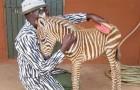 Diria, la zebra consolata da volontari con camici a strisce bianche e nere perché rimasta orfana della madre