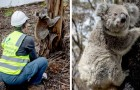Australia: 13 koala vengono finalmente liberati nel loro habitat naturale mesi dopo i gravi incendi