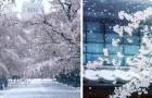 Het sneeuwt in Tokio tijdens de kersenbloesemperiode: de witgesneeuwde stad betovert met zijn schoonheid