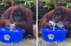 Contro il Coronavirus dobbiamo fare come Sandra, l'orangutan che ha imparato a lavarsi le mani con il sapone