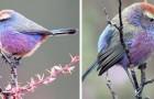 Wie aus einem Disney-Film: Das zierliche Purpurhähnchen mit seinen bunten Federn
