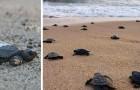 Il Brasile è in quarantena: le uova di tartaruga si schiudono sulle spiagge deserte e i piccoli corrono verso il mare