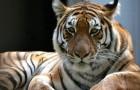 Video di Tigri