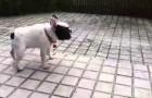 Un cucciolo di Bulldog francese scopre la pioggia: la sua reazione è irresistibile!