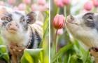 Una fotografa ha immortalato un tenero maialino da terapia in un campo pieno di tulipani