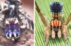 Scoperte in Australia 7 nuove specie di ragni pavone: minuscoli, coloratissimi e in grado di