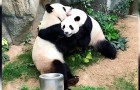 Nachdem der Zoo wegen des Coronavirus geschlossen wurde, gelingt es zwei Riesenpandas, sich nach 10 Jahren der Versuche zu paaren