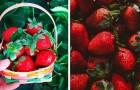 La fraise est le fruit d'été par excellence : bonne et riche en vitamines, elle est une panacée pour l'organisme
