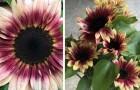 Deze bijzondere zonnebloemen hebben bloemblaadjes met prachtige roze tinten: een bijzondere en fascinerende variëteit