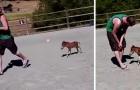 Sammy, das winzige Zwergfohlen, das erst 3 Tage alt ist und seinem menschlichen Freund auf Schritt und Tritt folgt