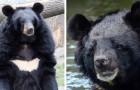 Coronavirus, la Chine recommande un remède à base de bile d'ours, extraite des horribles