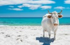 Sardegna: alcune mucche bianche