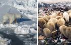 Orsi polari: il loro mondo continua a sciogliersi ed aumentano i casi di cannibalismo