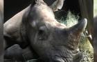 Approfittando della quarantena, i bracconieri hanno ferito e ucciso diversi rinoceronti in aree protette