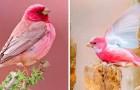 De goudvink, de charmante vogel uit de Himalaya die lijkt te zijn gekleurd met een roze stift