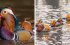 L'anatra mandarina: una specie elegante e variopinta che ha influenzato per secoli la cultura orientale