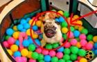 Cosa fa un carlino in un recinto pieno di palline? Esattamente questo!