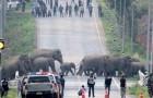 Thailandia: un branco di 50 elefanti ha attraversato una strada bloccando il traffico di automobili