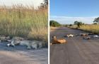 In Zuid-Afrika maakt een groep leeuwen gebruik van de quarantaine om midden op straat een dutje te doen