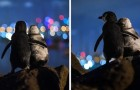 Un photographe immortalise deux pingouins veufs qui se réconfortent en regardant les lumières de la ville