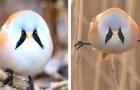 La panure à moustaches, l'adorable petit oiseau potelé qui semble avoir deux grandes moustaches près des yeux