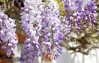 La glycine : grâce à sa couleur violette et à son parfum, elle crée une atmosphère magique dans les jardins du monde entier