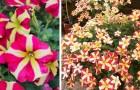 As pétalas coloridas desta petúnia parecem formar corações perfeitos: uma planta simples, com flores maravilhosas