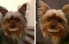 Un cagnolino mette in bocca i denti finti del proprietario, sfoggiando un esilarante